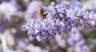 Bee in ILLC Annual Trial Garden